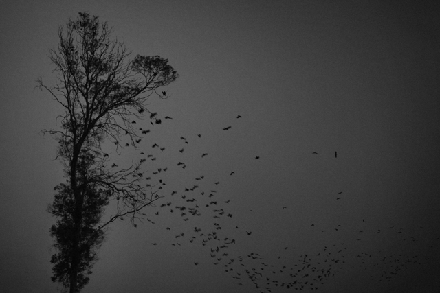 Ahmad ALI - Crows falling